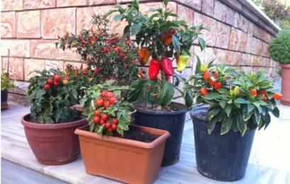 Balkonunuzu Sebze ve Meyve Bahçesine Dönüştürün